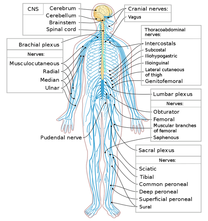an image showing the central and peripheral nervous systems