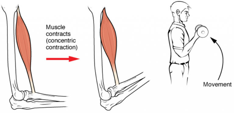 a cartoon image of a bicep contraction causing arm movement