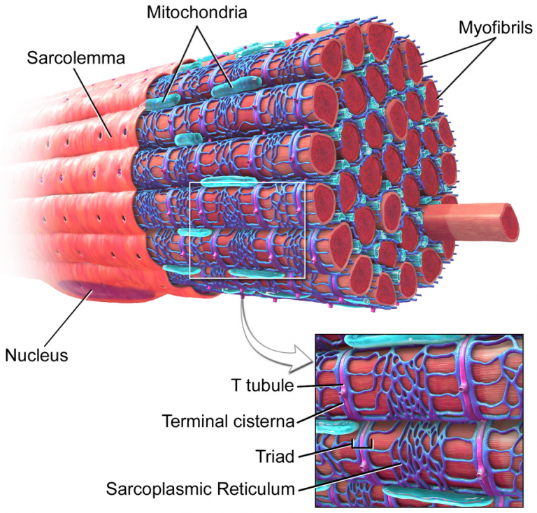 a cartoon image of a muscle fiber