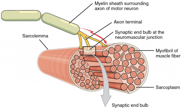 Part 1 of 3 of a schematic of a neuromuscular junction