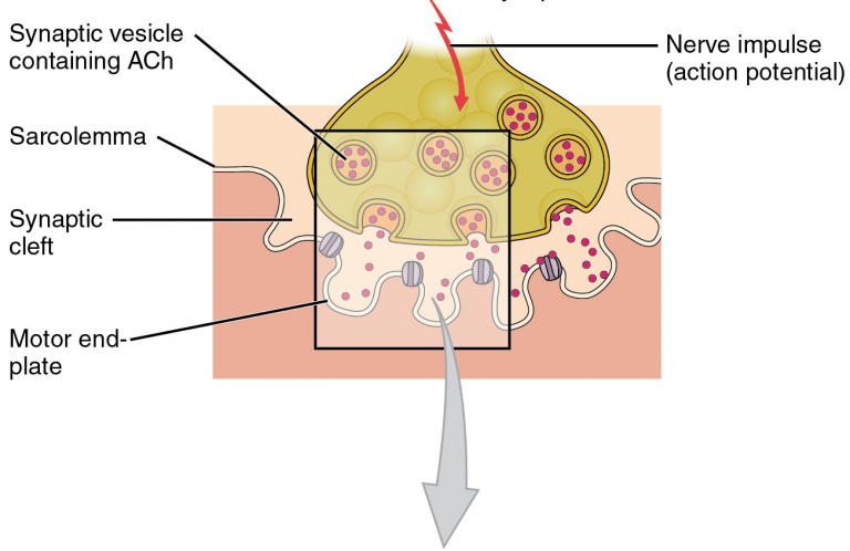 Part 2 of 3 of a schematic of a neuromuscular junction