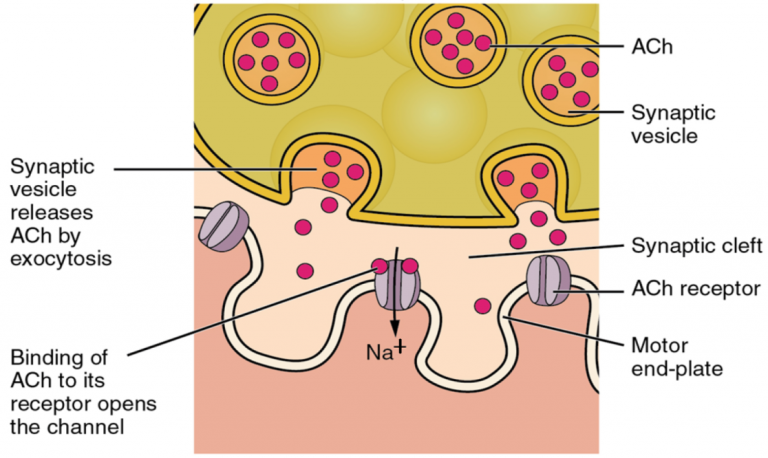 Part 3 of 3 of a schematic of a neuromuscular junction