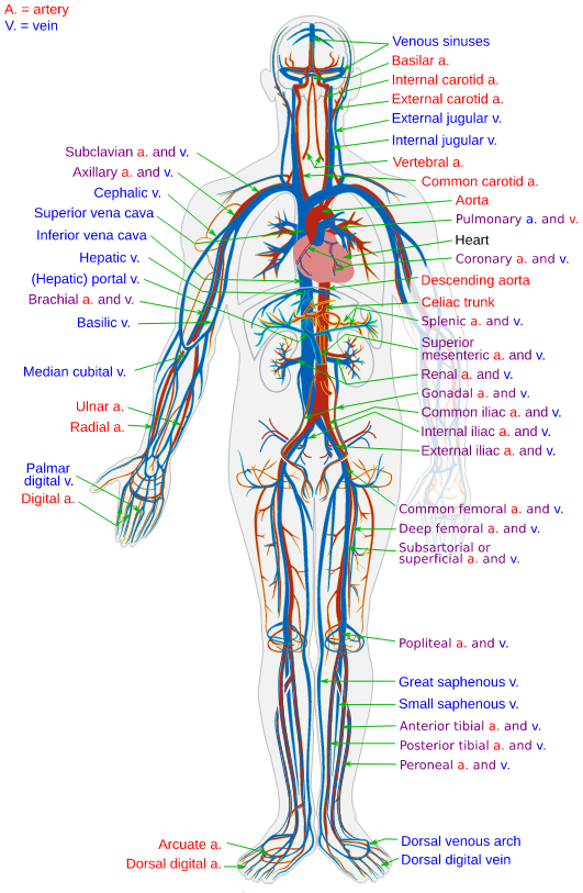 an image of the circulatory system