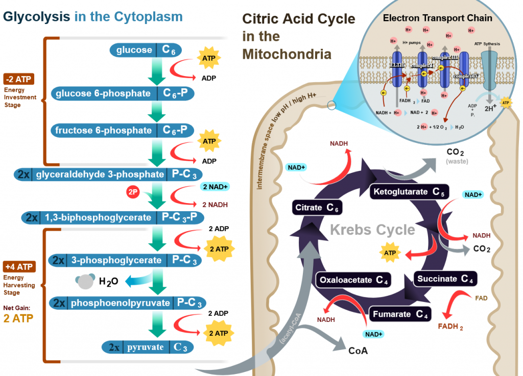 an image of glycolysis, the krebs cycle, and the electron transport chain