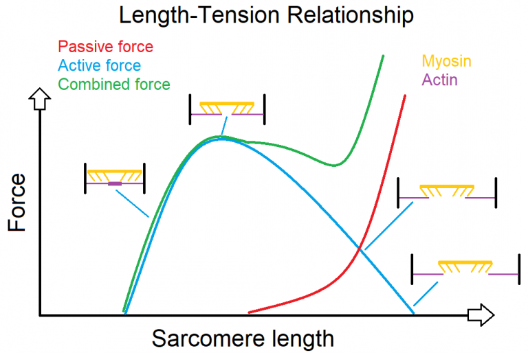 an image depicting the length-tension relationship
