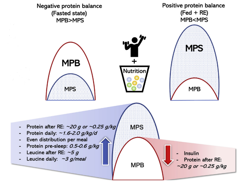 a figure showing recommendations to improve muscle protein synthesis
